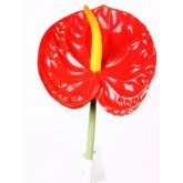 ANTHURIUM X1 RED